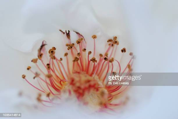 centre of a white rose - stamen stock pictures, royalty-free photos & images