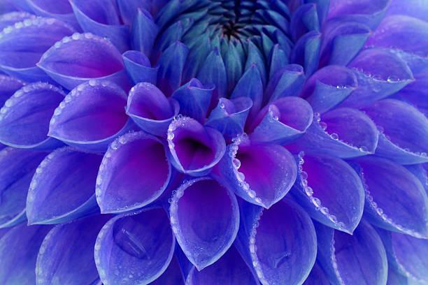 Centre of blue and purple dahlia flower