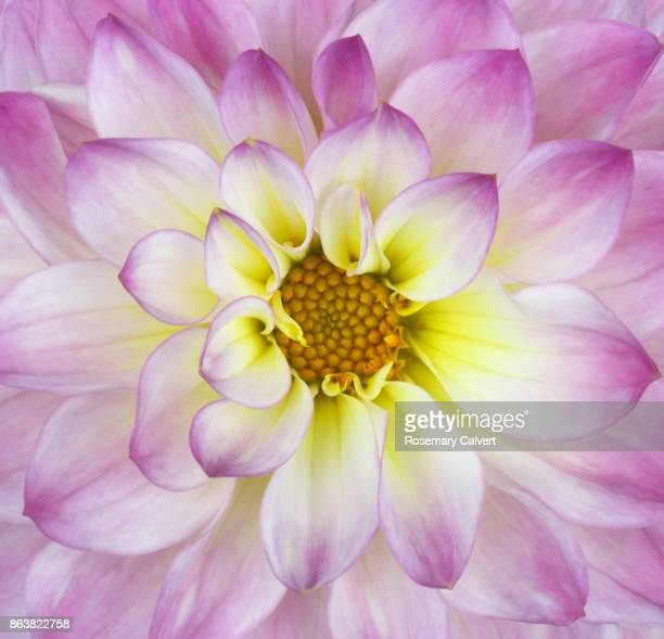 Centre of pink and white dahlia in close-up,