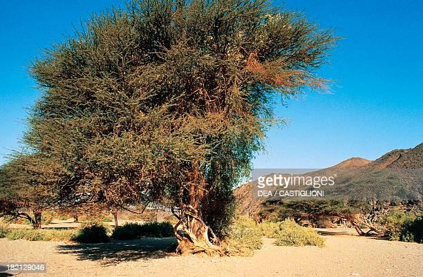 Centuriesold Acacia trees Wadi Allaqi Egypt