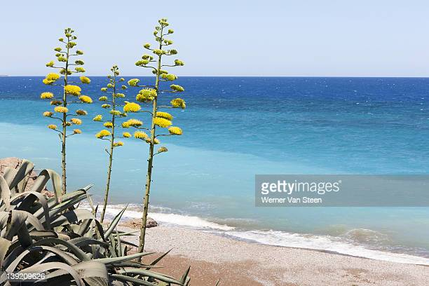 century plant (agave americana), greece - nature stockfoto's en -beelden