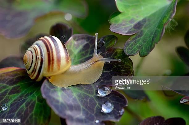 cepaea hortensis - garden snail stock photos and pictures