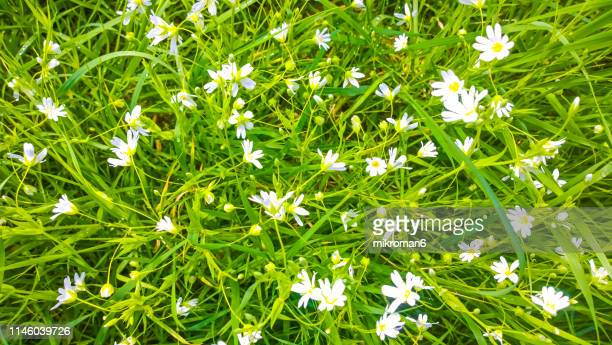 cerastium arvense plant, common names field mouse-ear and field chickweed. - wildflower stock pictures, royalty-free photos & images