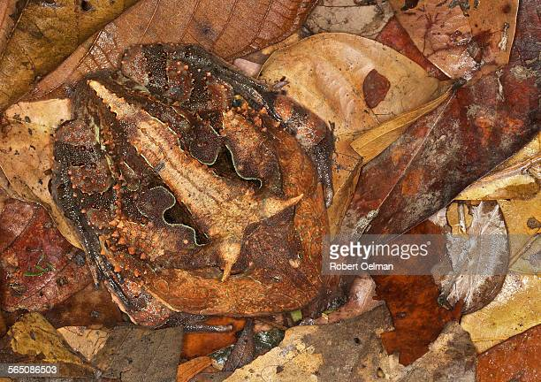 ceratophrys cornuta - horned frog stock photos and pictures