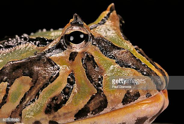 ceratophrys cranwelli x cornuta (horned frog) - horned frog stock photos and pictures