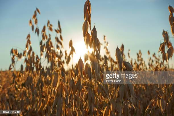 cereal crop in field at sunset - crop stock pictures, royalty-free photos & images