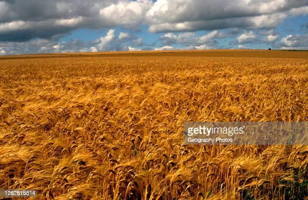 Cereal crop of golden barley near harvest time chalk landscape Marlborough Downs Wiltshire England