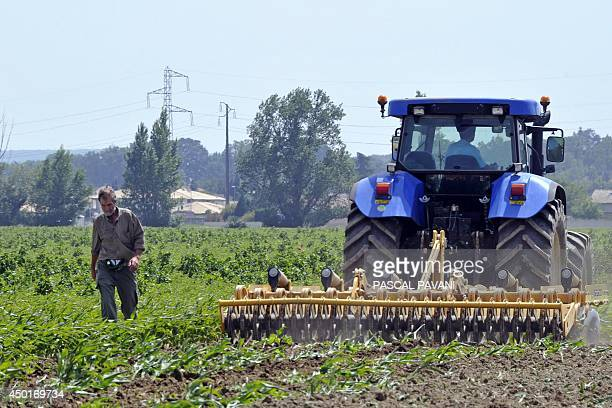 Cereal farmer Jacques Bauville walks by a combineharvester on June 2014 in Saubens southern France as he destroys his 11 hectares field of transgenic...