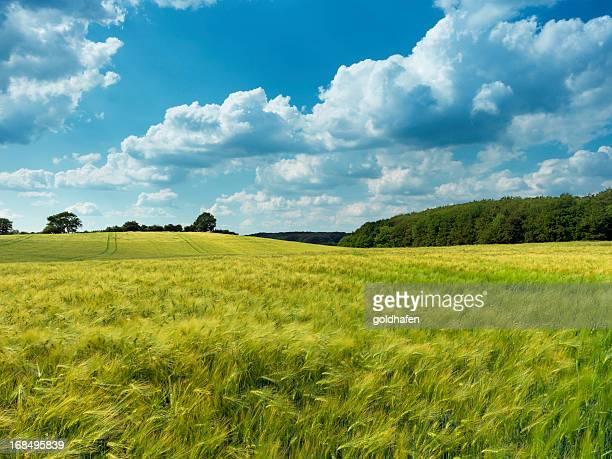 getreide, getreide, sommer-feld - schleswig holstein stock-fotos und bilder