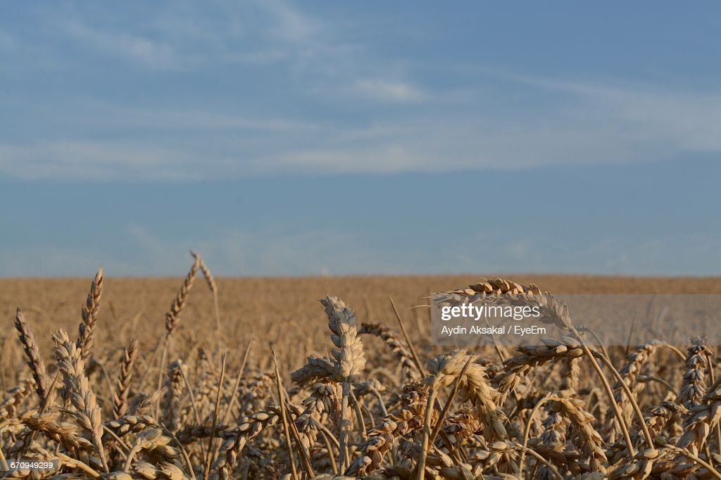 Cereal Plants Growing On Field Against Sky During Sunny Day : Stock Photo