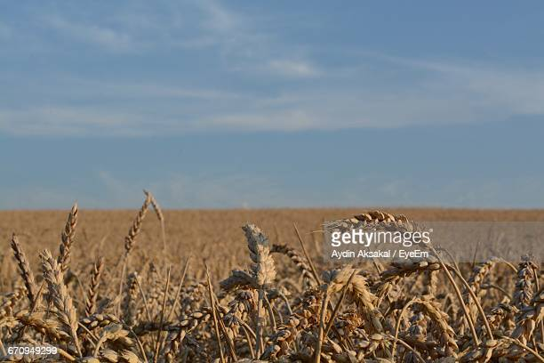 Cereal Plants Growing On Field Against Sky During Sunny Day