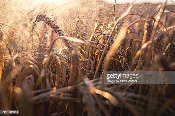 cereal spray - crop stock pictures, royalty-free photos & images
