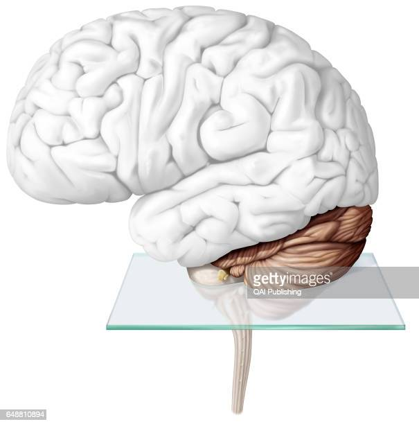 Cerebellum The cerebellum is the part of the brain located under the cerebrum behind the brainstem It ensures motor coordination as well as the...