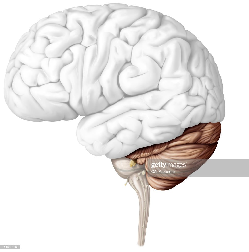 Cerebellum : News Photo