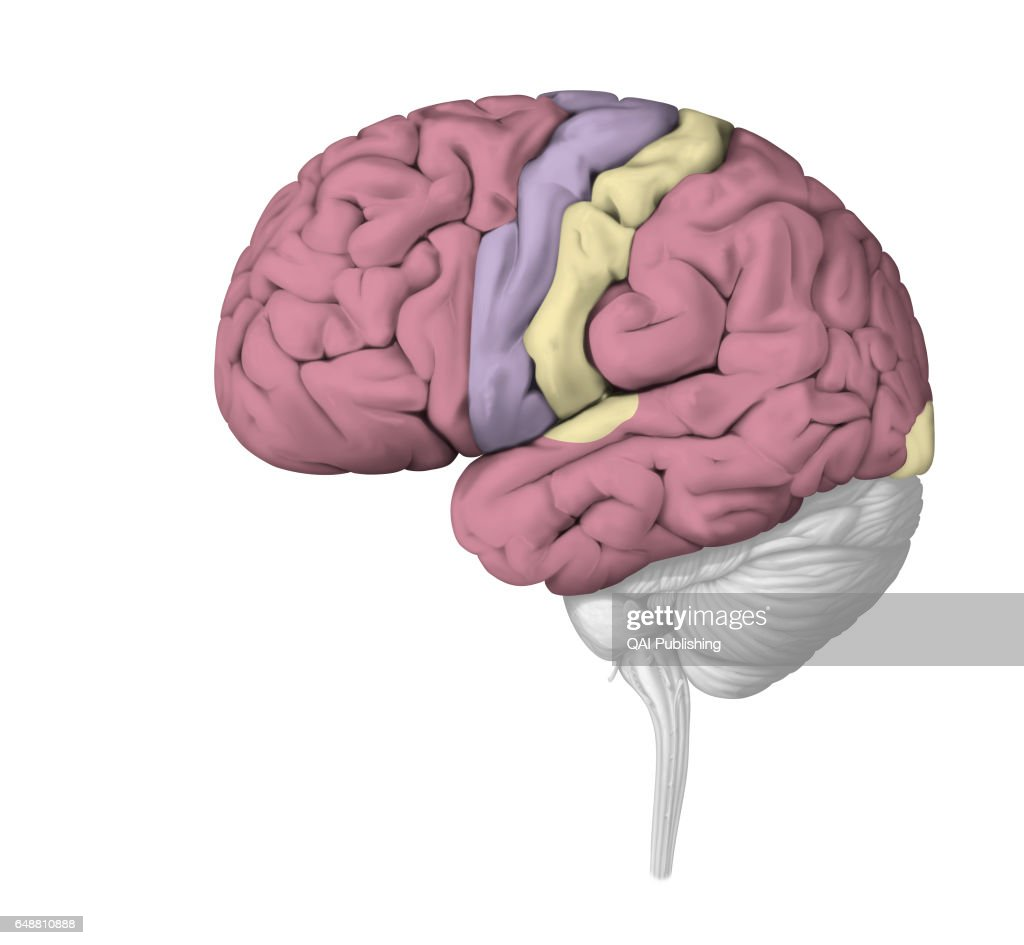 Cerebral cortex, The cerebral cortex completes the most elaborate ...