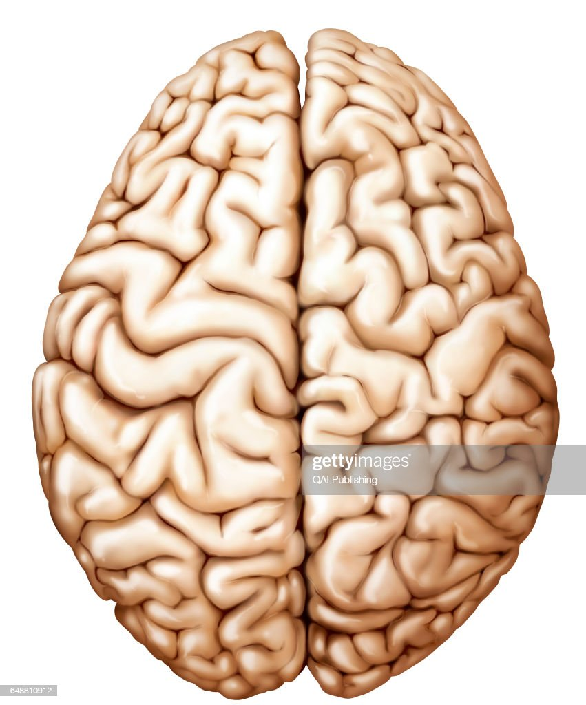 Cerebral Hemisphere Pictures Getty Images