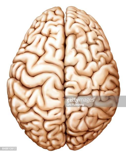 Cerebral Hemisphere Stock Photos And Pictures