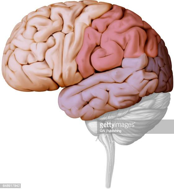Parietal Lobe Stock Photos And Pictures Getty Images