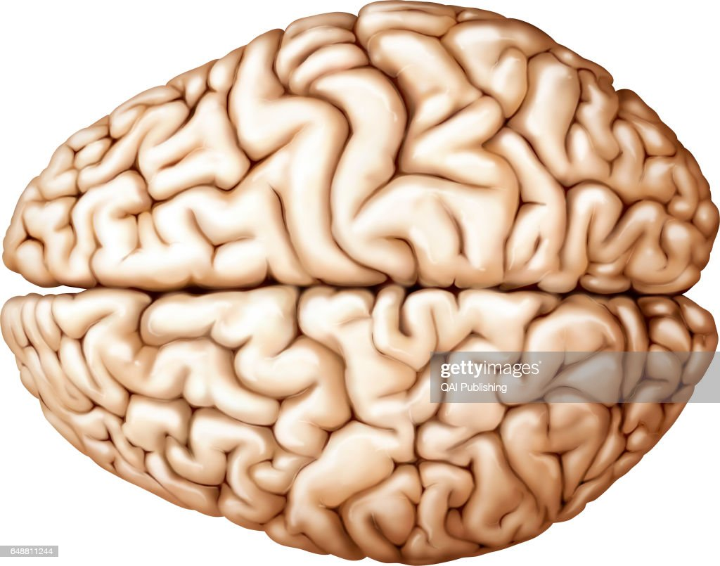 Cerebrum Superior View Pictures Getty Images