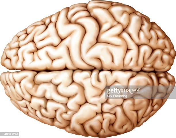 Cerebrum superior view The cerebrum is the most voluminous and most complex part of the brain It is made up of two hemispheres subdivided into four...