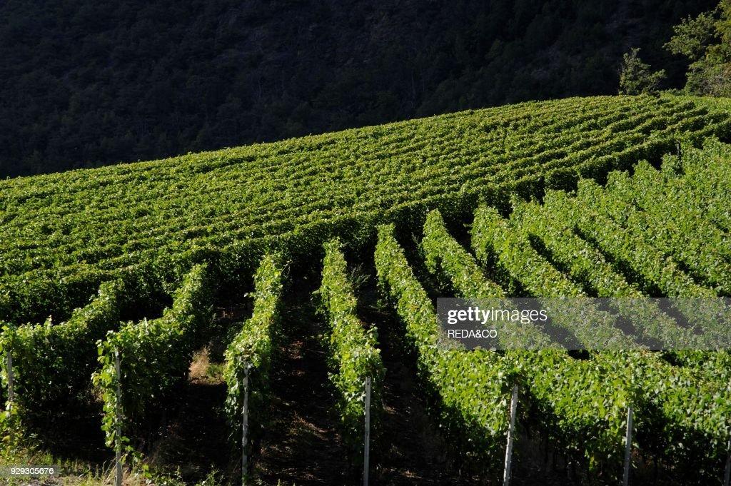 Cerellaz  Vineyard  Aosta Valley  Italy  News Photo - Getty