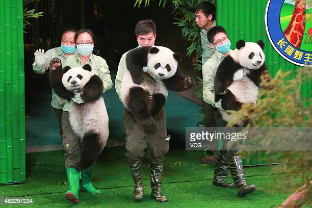 A ceremony for celebrating the only living panda triplets' 1st birthday at Chimelong Safari Park on July 29 2015 in Guangzhou China Female panda...