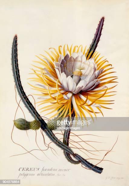 Cereus c 1744 Selenicereus Grandiflorus