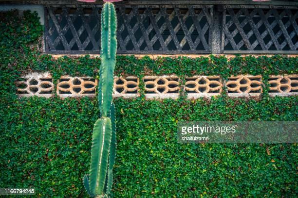 cereus cactus over vegetation wall. - shaifulzamri bildbanksfoton och bilder