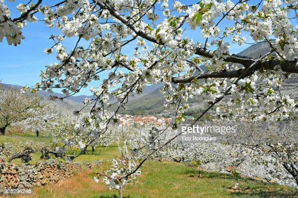 cerezos en flor (cherry blossoms), valle del jerte,  cáceres - spain - caceres stock pictures, royalty-free photos & images