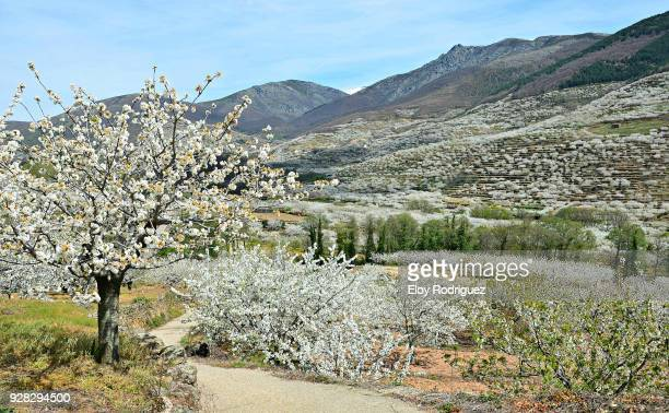 cerezos en flor (cherry blossoms), valle del jerte,  cáceres - spain - extremadura fotografías e imágenes de stock