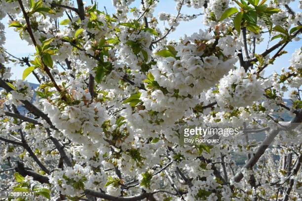 cerezos en flor (cherry blossoms), valle del jerte. - valle fotografías e imágenes de stock
