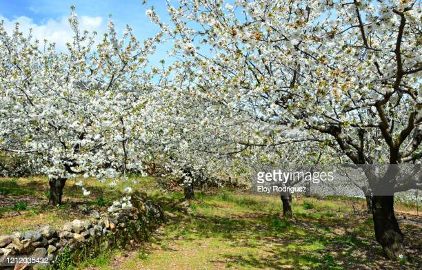 cerezos en flor, valle del jerte. - caceres stock pictures, royalty-free photos & images