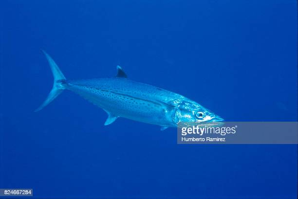 cero. - mackerel stock pictures, royalty-free photos & images