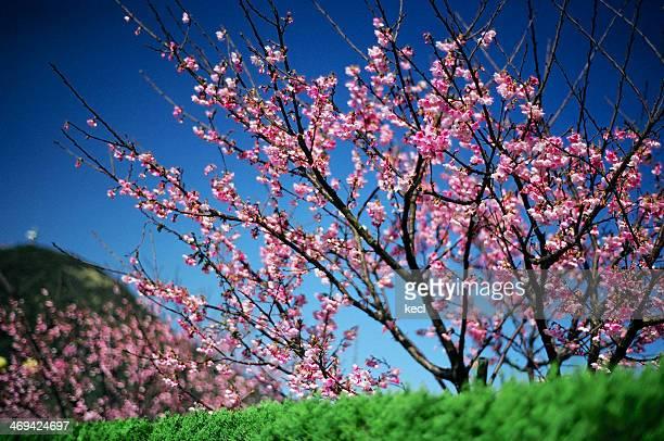 Cerry Blossoms