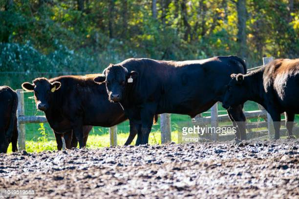 A certified, purebred Japanese Wagyu bill with his herd.