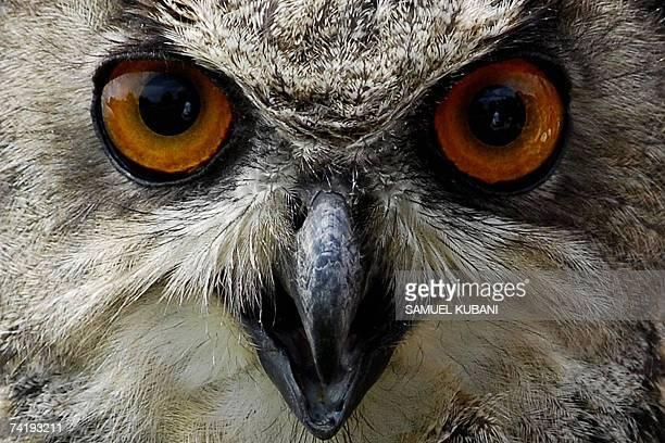 Cerveny Kamen, SLOVAKIA: This picture taken 19 May 2007 shows Bubo bubo, a Eurasian eagle-owl at Cerveny Kamen castle, 40 kms from Bratislava. AFP...