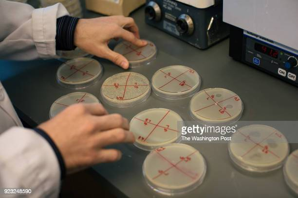 Cesar Montelongo a third year student in Loyola University Chicagos Stritch School of Medicine's MDPhD program examines Petri dishes in which he...