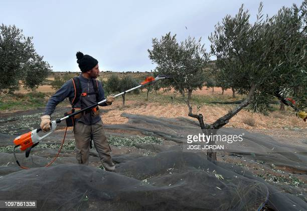 Cesar Tarradas harvests olives in Oliete northeastern Spain on December 17 2018 Residents began moving away from rural towns and villages like Oliete...