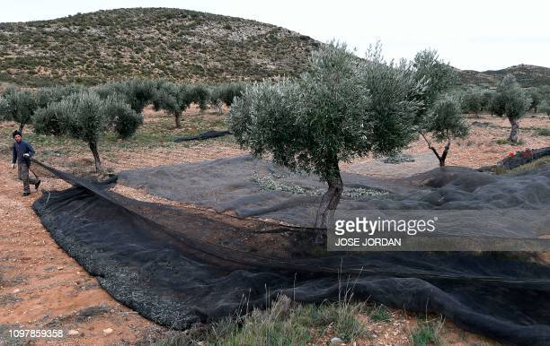 Cesar Tarradas unfolds a net prior to harvesting olive tress in Oliete northeastern Spain on December 17 2018 Residents began moving away from rural...
