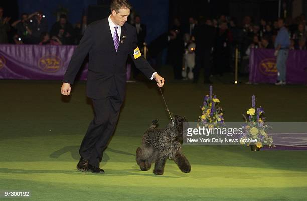Ch Torums Scarf Michael a 6yearold Kerry blue terrier makes the rounds with handler Bill McFadden at the 127th Westminster Kennel Club Dog Show in...