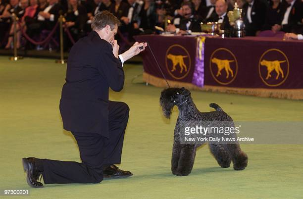 Ch Torums Scarf Michael a 6yearold Kerry blue terrier with handler Bill McFadden at the 127th Westminster Kennel Club Dog Show in Madison Square...