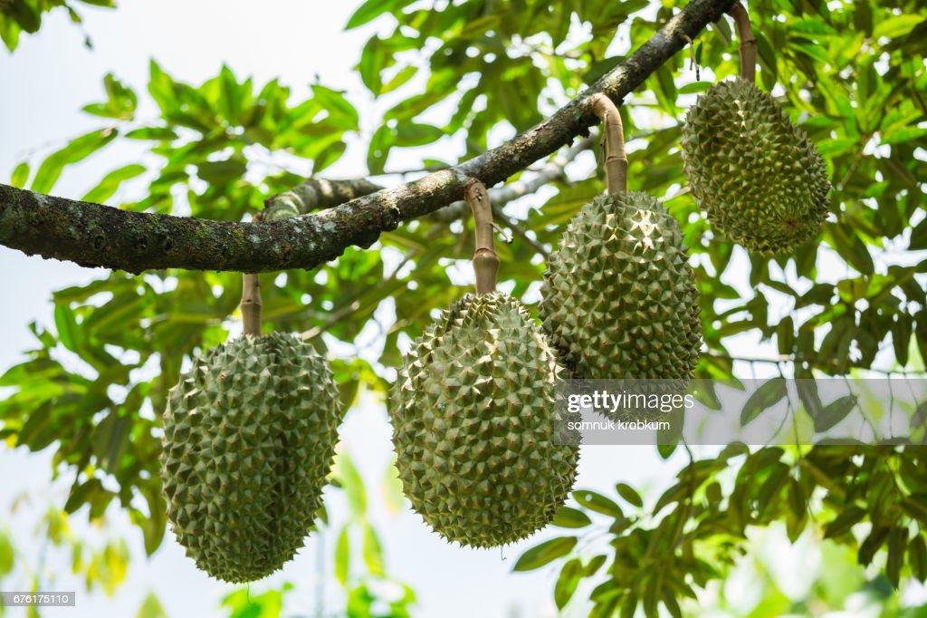 Cha Nee durian in Thailand : Stock Photo