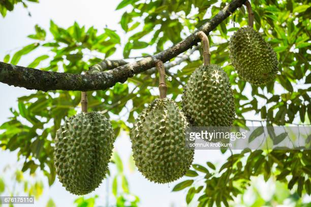 Cha Nee durian in Thailand