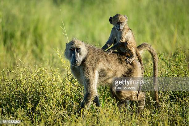 chacma baboon and infant, chobe national park, botswana - chacma baboon stock photos and pictures