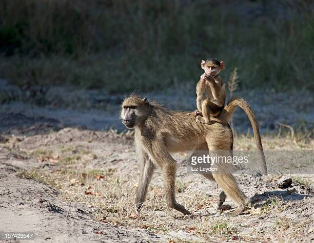 chacma baboon baby riding jockey style - chacma baboon stock photos and pictures