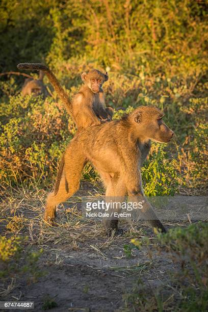 chacma baboon carrying its young on shoulder - chacma baboon stock photos and pictures