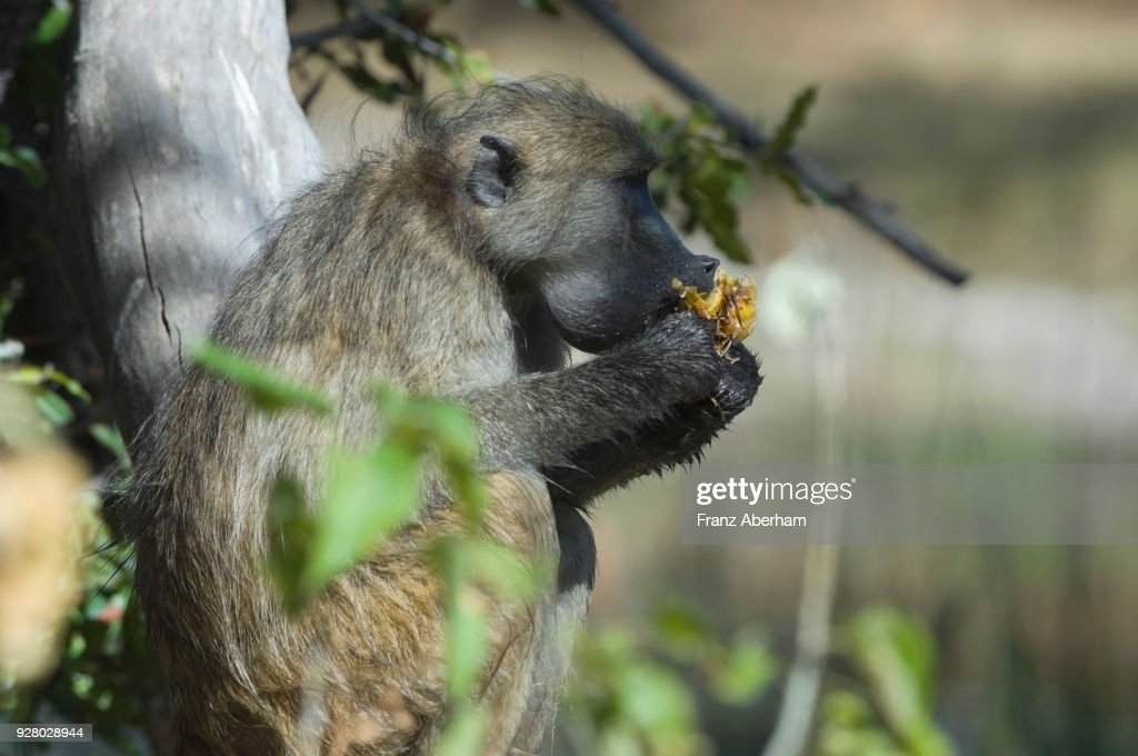 Chacma baboon, eating a wild fruit, Moremi Game Reserve, Botswana : Stock Photo