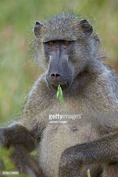 chacma baboon (papio ursinus) eating, kruger national park, south africa, africa - chacma baboon stock photos and pictures