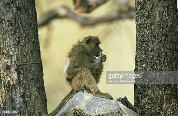 chacma baboon, grooming, moremi gr, botswana - chacma baboon stock photos and pictures