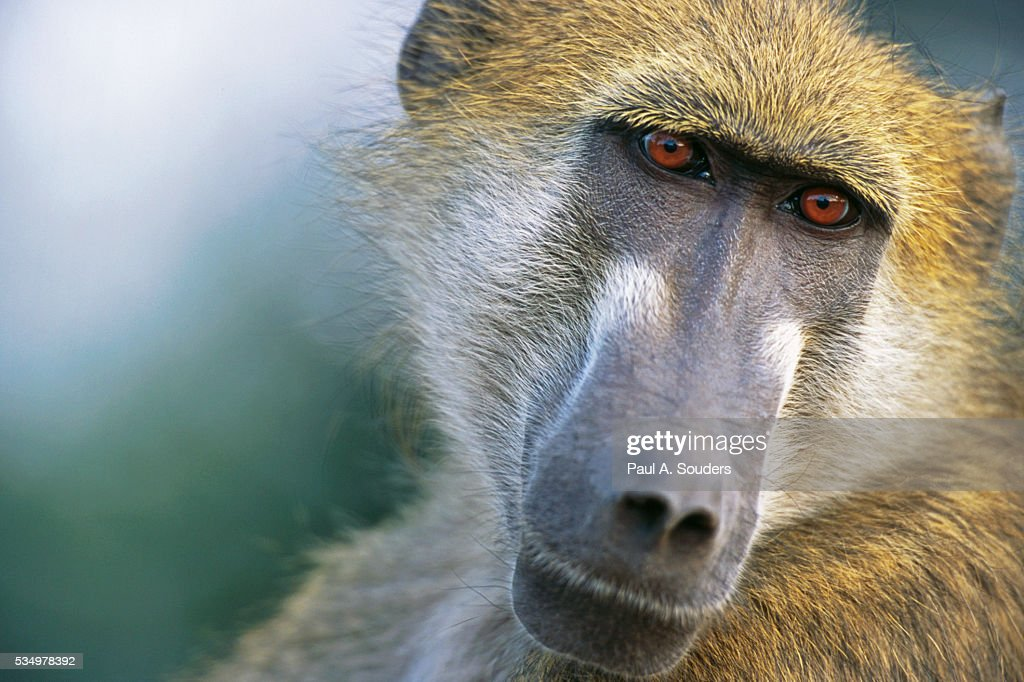 Chacma Baboon in Botswana : Stock Photo